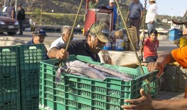 En el país, la merluza fue identificada como recurso potencial a partir de 1980, cuando era capturada de forma incidental en las pesquerías de tiburón y escama en Sonora y Baja California.