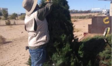 Ha verificado Profepa más de 350 mil árboles de Navidad, ingresados a territorio nacional