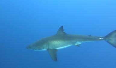 Tiburón identificado como Stouffer#194   Fotografía tomada el 23 de septiembre del 2019