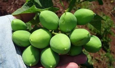 La planta no tóxica tiene elevado rendimiento de grano por hectárea