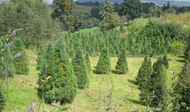 Estas plantaciones generan empleos y servicios ambientales para la sociedad