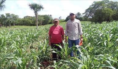 Se han desarrollado 158 ensayos y viveros de maíz nativo y de cultivos de la milpa en Oaxaca, Michoacán y Estado de México con el objetivo de consolidar un esquema que eleve la productividad sustentable y el bienestar de las comunidades milperas.