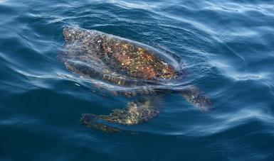 Por marea roja, muerte de tortugas en playas  de Oaxaca, determina Profepa