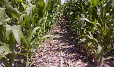 Con variedades de maíz adecuadas y arreglo del suelo que permite un mejor aprovechamiento del agua, se obtuvieron mayores rendimientos y ganancias, además de aumento del carbono orgánico del suelo.