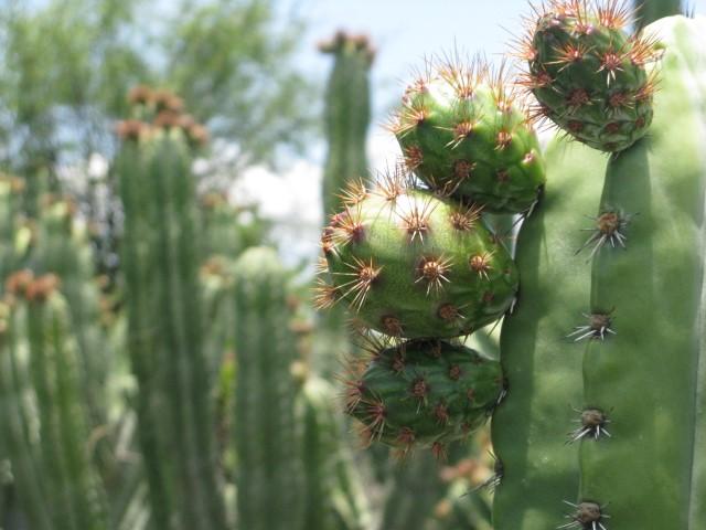 En México se cultivan alrededor de dos mil hectáreas de pitaya, de las cuales se obtiene una producción de seis mil 400 toneladas, con un valor estimado en 80 millones de pesos.