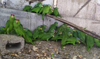 Mantiene Profepa en cuarentena loros asegurados por la FGR en Mazatlán