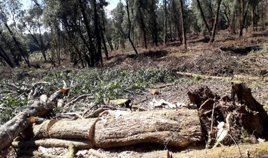 Pone Profepa a disposición de la FGR a siete taladores por daño a la Reserva de la Mariposa Monarca