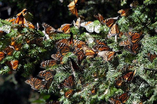 Santuarios de la Mariposa Monarca en Michoacán, México.