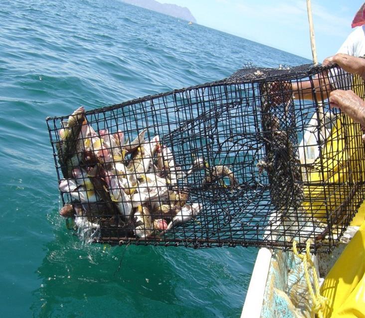 El Instituto Nacional de Pesca (INAPESCA) presentó un nuevo modelo de jaula que será aprovechable en las actividades de pesca ribereña, donde contribuirá a reducir la captura incidental y promoverá la sustentabilidad de este sector productivo.