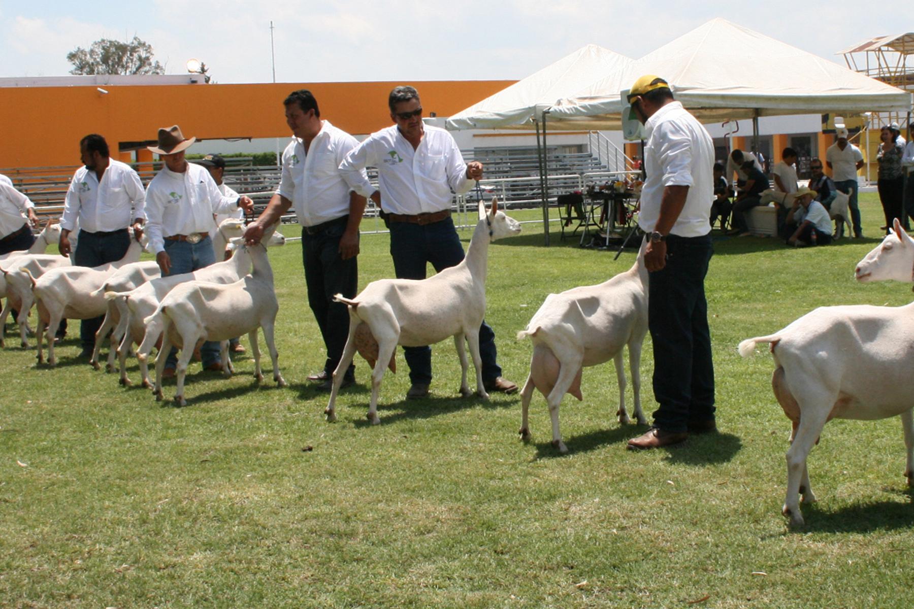 La expo fue el punto de encuentro de la cadena productiva y escaparate del trabajo del sector caprino que busca posicionarse en el mercado nacional y mundial, con productos de alta calidad.