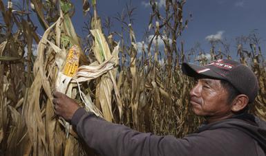 Presenta Segalmex mecánica operativa del programa Precios de Garantía para medianos productores de maíz.