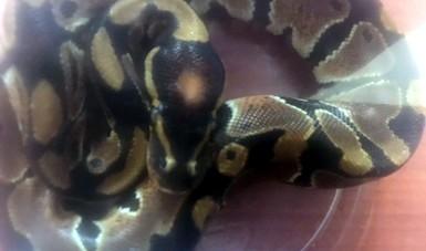 Asegura Profepa un gecko y una serpiente en el Aeropuerto Internacional de San Luis Potosí