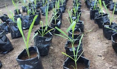 Investigadores del Colegio de Postgraduados (Colpos), Campus Córdoba, en Veracruz, desarrollan tecnologías sustentables en la producción de caña de azúcar para mitigar el impacto en el medio ambiente y aumentar los rendimientos.