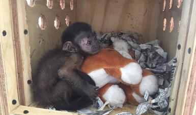 Guardia Nacional protege la vida silvestre al rescatar a un mono capuchino