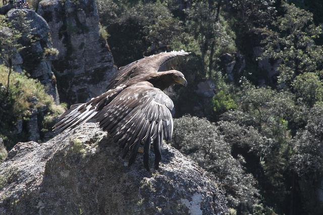 Cada año se liberan aproximadamente 100 ejemplares de aves de presa