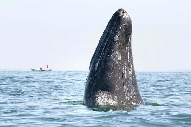 La ballena gris nace en las lagunas costeras de Baja California y Baja California Sur en los meses de enero y febrero