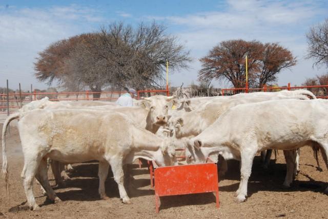 Las exportaciones de productos bovinos (básicamente cárnicos) aumentaron 40 por ciento durante 2014, en su comparativo anual, informó la Secretaría de Agricultura, Ganadería, Desarrollo Rural, Pesca y Alimentación (SAGARPA).