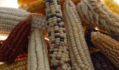 El Atlas Molecular del Maíz es uno de los trabajos científicos más relevantes de la actualidad, con lo cual se han caracterizado más de 42 mil muestras de maíz (incluyendo 24 mil de maíces nativos).