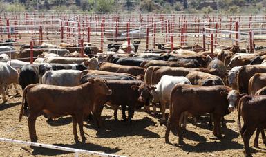 Reconoce organismo regional sanitario labor de México para el control y erradicación de tuberculosis bovina