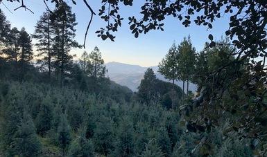Plantaciones de árboles de Navidad mexicanos.