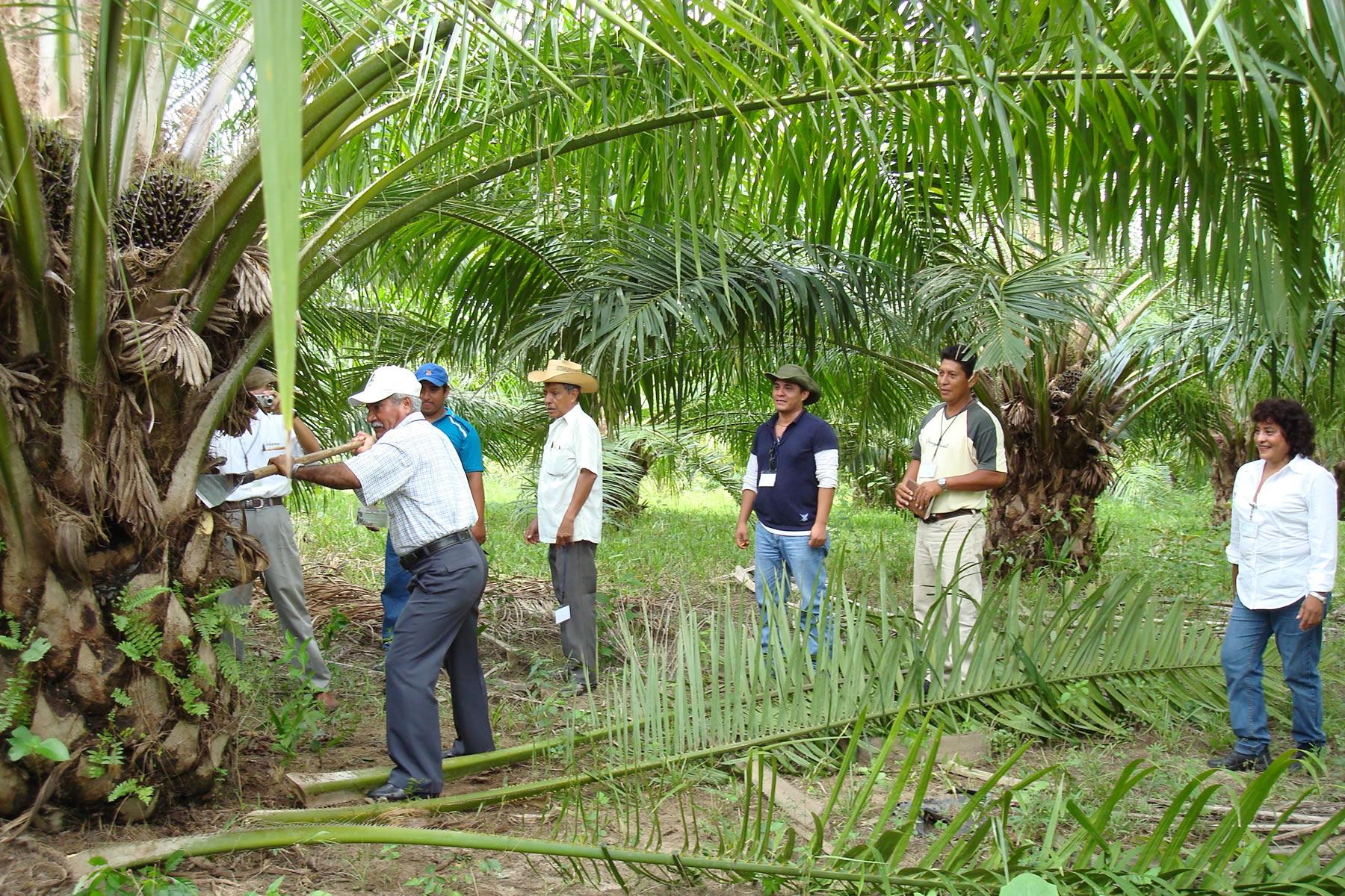 Cuenta México con potencial de más de dos millones de hectáreas para cultivo de palma de aceite.