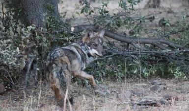 Liberación de lobo mexicano