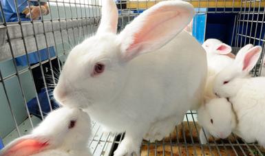 Inició Agricultura vacunación a conejos en zonas afectadas por enfermedad viral.