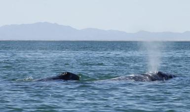 Cuando las madres ingresan a las lagunas para tener a sus ballenatos lo hacen de manera paulatina y aumentará en las siguientes semanas