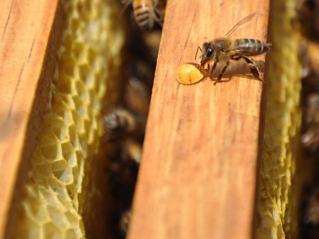 La SAGARPA capacita a los apicultores con el fin de que apliquen técnicas de manejo sencillas que mejoren la producción y simplifiquen el trabajo.