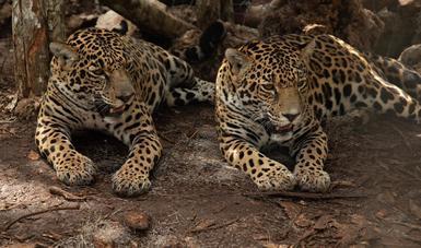El Tren Maya invierte en la protección del jaguar.