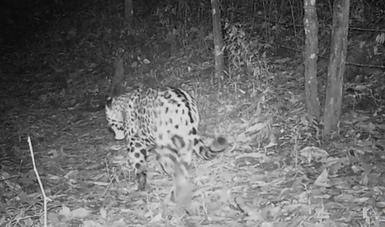 El monitoreo de esta especie se ha realizado por más de 12 años en bosques templados, con lo que se ha encontrado que existen al menos dos jaguares cada 100 km2.