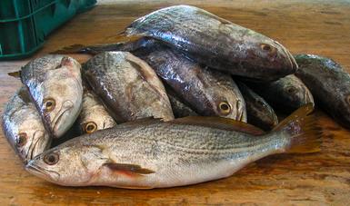 Establece Agricultura pesca sustentable y ordenada de robalo garabato, pargo colorado y curvinas en Marismas Nacionales Nayarit y el sur de Sinaloa