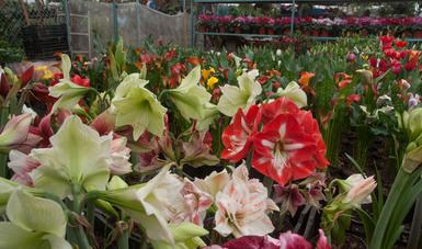 Lista, producción nacional de flores para los festejos del Día de la Madre