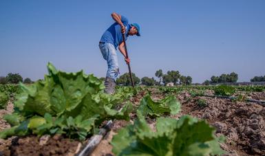 Al alza, producción y exportación de lechuga mexicana
