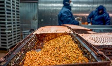 Aplica Agricultura acciones contra la mosca del Mediterráneo en ocho municipios de Colima