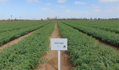 Ante los efectos del cambio climático, mejora INIFAP rendimiento y calidad del garbanzo en beneficio de los productores.