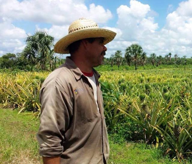 Cultivo de piña en Quintana Roo