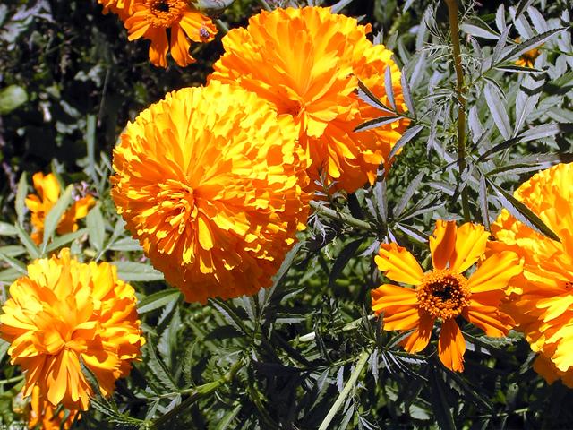 En 2014 se produjeron alrededor 12 mil toneladas de esta flor, 356 mil 081 manojos y más de un millón 900 mil plantas.
