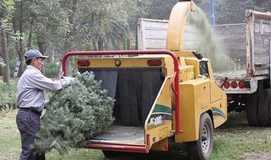 Continúa el acopio de árboles de navidad para ser reciclados.