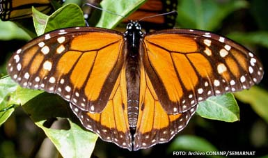 Se registró una superficie de 1.13 hectáreas de bosque ocupada por 9 colonias de mariposa Monarca