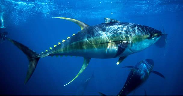 Atún aleta azul