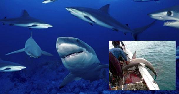 Concluye veda de tiburones y rayas en el Océano Pacífico