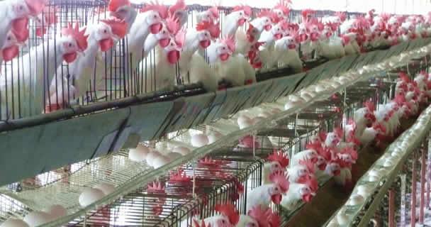El Servicio Nacional de Sanidad, Inocuidad y Calidad Agroalimentaria (SENASICA) informó que en Guanajuato se han inspeccionado 66 granjas y 33 predios de traspatio en los que se practica la avicultura, con una población de siete millones 48 mil 933 aves.