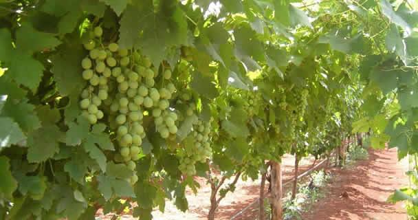 En Sonora se producen 20 millones de cajas de uva de mesa, de las cuales de 16 a 17 millones de cajas se exportan a Estados Unidos y Canadá, de 1 a 2 millones de cajas se exportan a Europa y otros países, y 2 millones de cajas se quedan en México.
