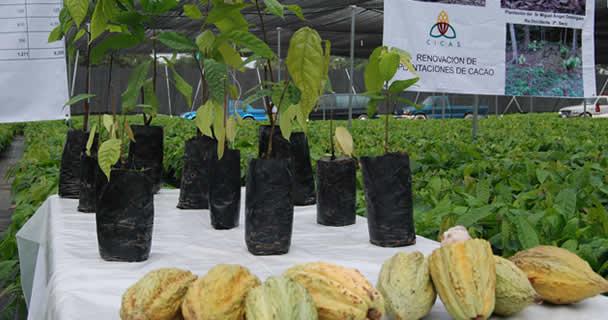 Renovará SAGARPA cultivos de cacao en el sur-sureste de México