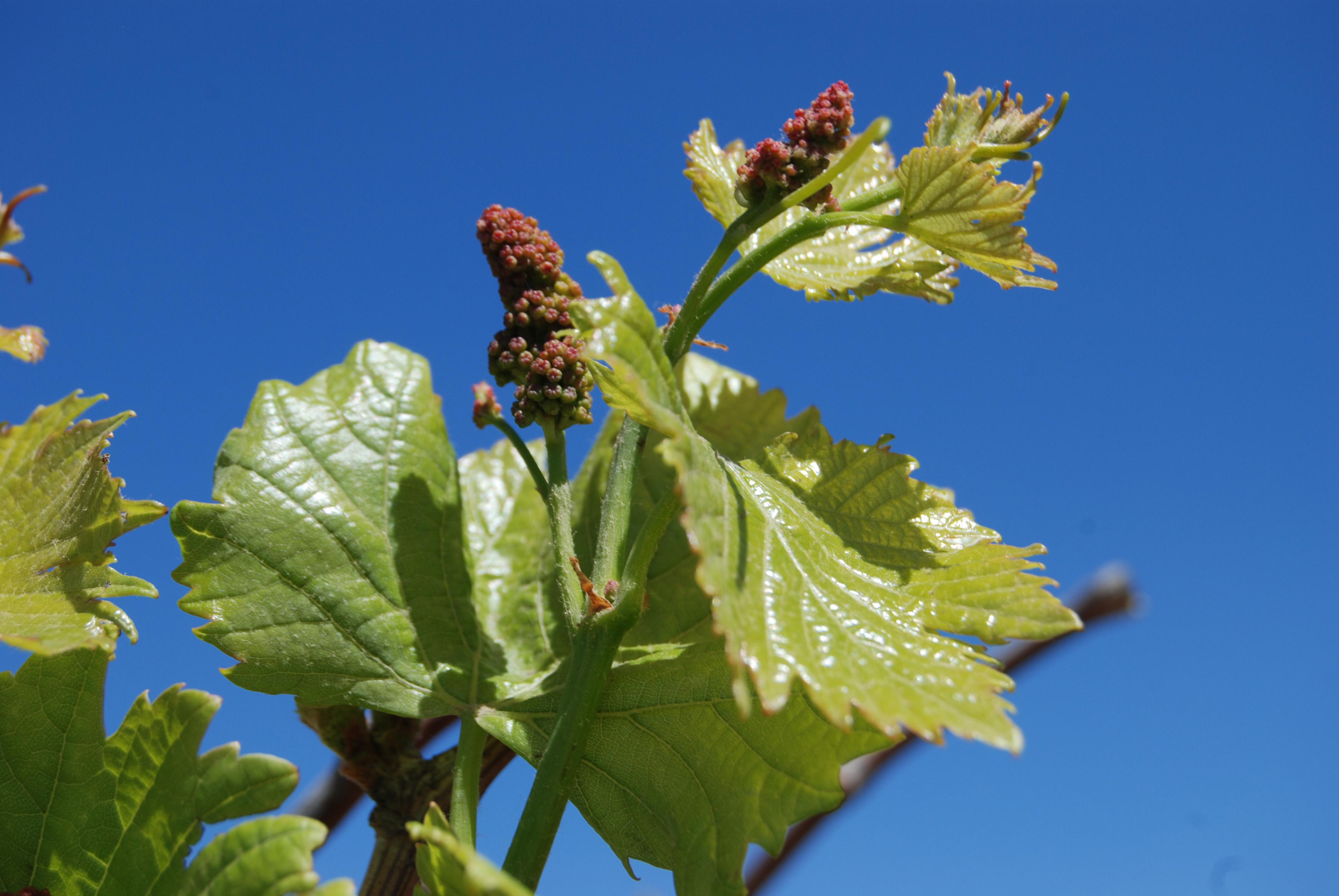 A través de la Agencia de  Servicios  a la Comercialización y Desarrollo de Mercados Agropecuarios (ASERCA), la SAGARPA firmó un convenio de concertación con el Consejo Mexicano del Vino que busca mejorar el nivel y calidad de los productores vitivinícola