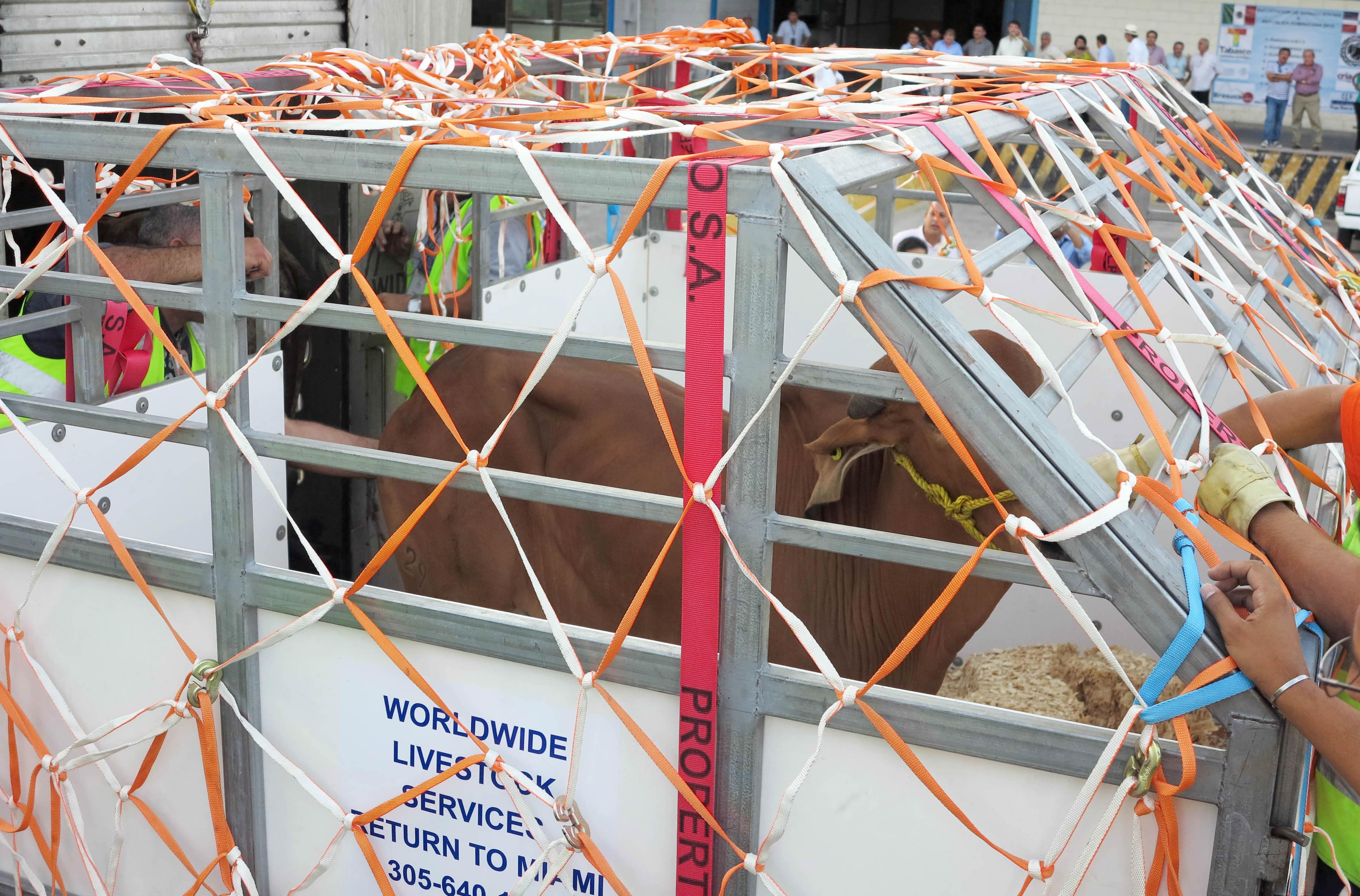 Al país caribeño fueron enviados 108 cabezas de ganado en pie de razas cebuinas, Girolando y Brangus, criados en los estados de Tabasco y Campeche, que servirán para mejorar la genética del ganado.
