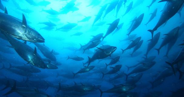 Bajo este esquema suman ya 14 pesquerías comerciales que registran éxitos productivos, entre ellas destacan los del abulón, curvina golfina, túnidos, almeja y caracol, entre otras especies marinas: comisionado Mario Aguilar Sánchez.