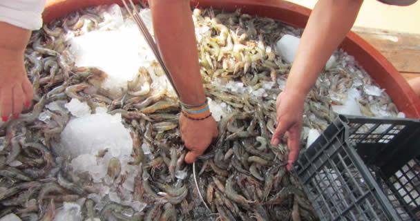 Investigadores del INAPESCA desarrollan biotecnología para la engorda de camarón blanco