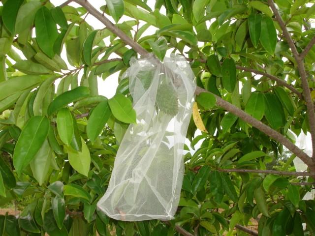 Con innovación tecnológica, la SAGARPA-INIFAP protegen el cultivo de la guanábana